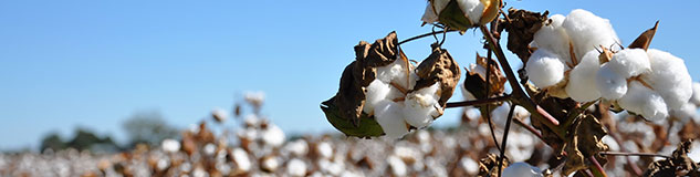 Cotton CFDs Trading at Avatrade
